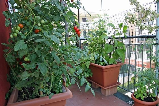 Rajčata jsou balkónovou klasikou