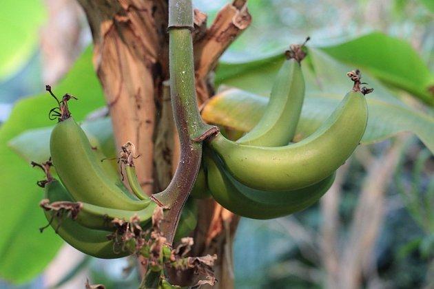 Zrající banány.