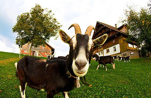 Bio zvíře - kozel
