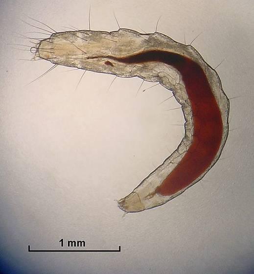 Larva blechy