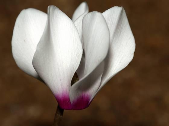 Květy bramboříku vynikají křehkou krásou