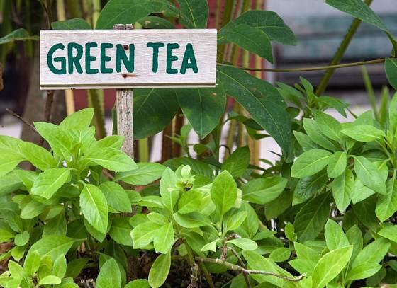 Čajovník je stálezelená teplomilná rostlina.