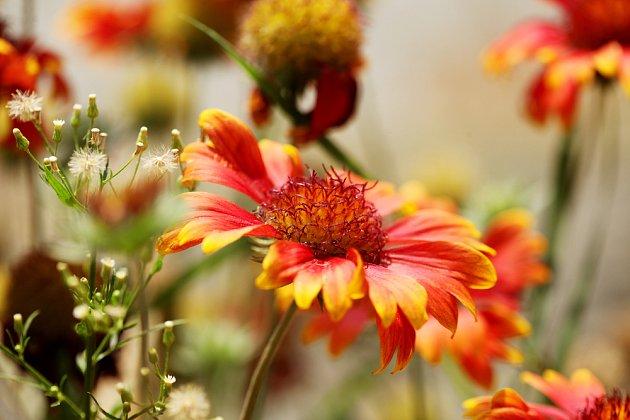 Cínie krášlí zahradu na sklonku léta