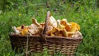 Bohatý úlovek hub čeká v listnatých i jehličnatých lesích