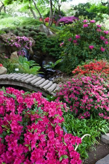 Rododendrony v Japonské zahradě.