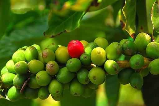 kávové boby
