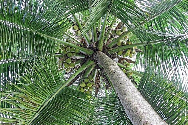 Kokosová palma se zrajícími kokosy
