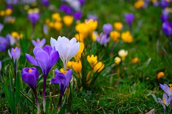 Krokusy (Crocus) rozkvétají v mnoha zahradách jako první cibuloviny.