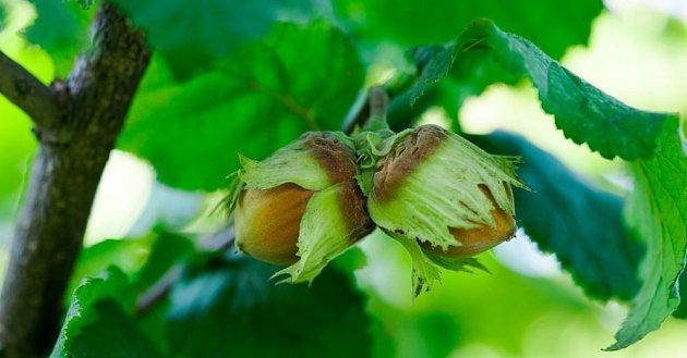 Pěstování lískových oříšků