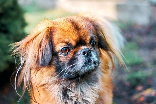 Pekingský palácový psík, zvaný též pekinéz nebo pekiňák.