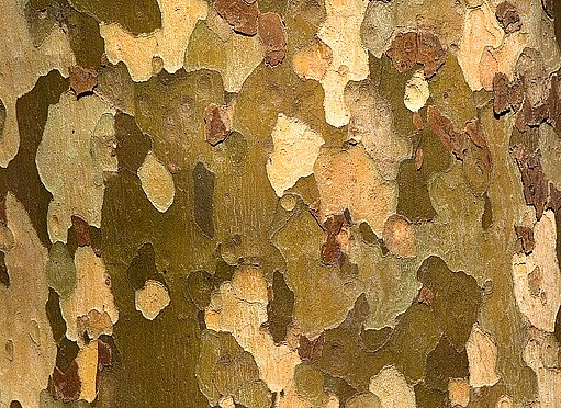 barevná mozaika kůry platanu