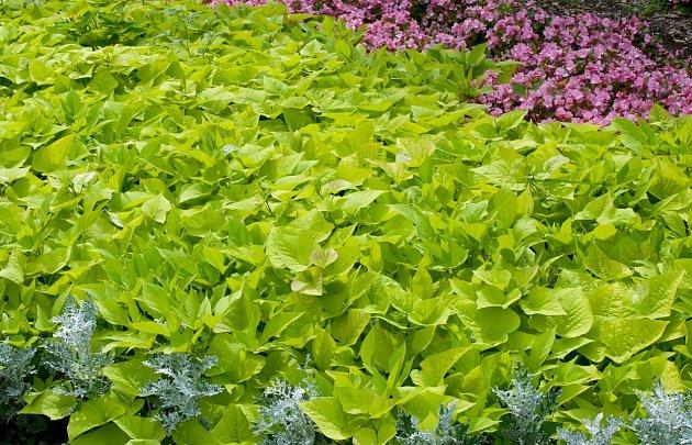 Batáty mají nádherné sytě zelené listy srdcovitého tvaru s dlouhými řapíky.