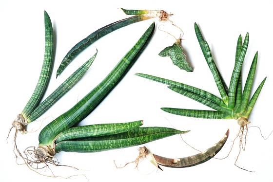 Tchýnin jazyk  snadno zakořeňuje. Z nových oddenků si můžeme vypěstovat plnohodnotné nové rostliny.