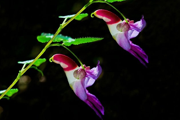 Orchidej (Impatiens psittacina)