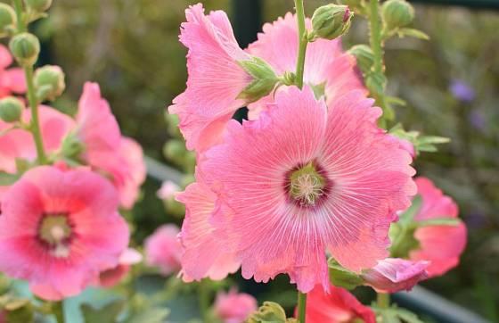 Topolovka zvaná slézová růže (Alcea rosea) má květy krásné i léčivé