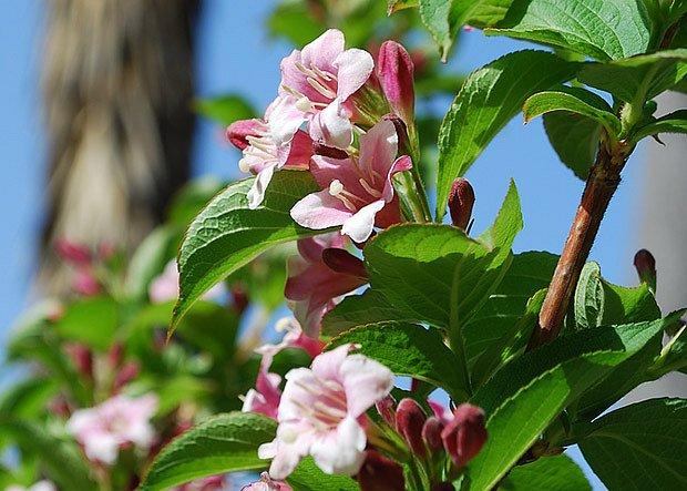 vajgélie bohatokvětá  (Weigela floribunda)