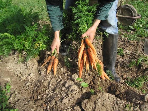 Z hrůbků lze kořeny mrkví snadno tahat