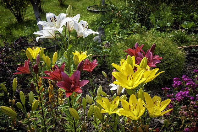 Rozmanité hybridy lilií kvetou od jara až do léta