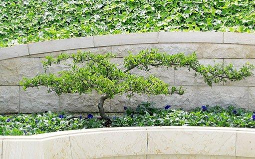 bonsaj na terasovitém záhoně