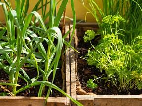Pokud se rozhodnete pěstovat česnek na balkoně nebo za oknem, nejdříve musíte pochopit, jak roste