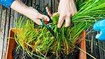 Z citronové trávy lze připravit voňavý čaj i repelent
