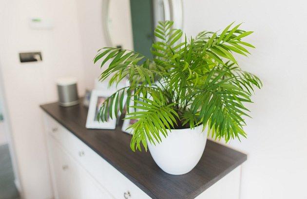 Chamaedorea sličná (Chamaedorea elegans), známá jako horská palma.