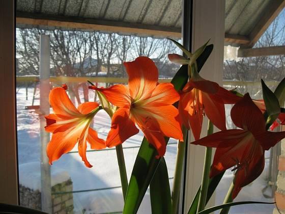 Zatímco venku panuje zima, hvězdník za oknem krásně kvete