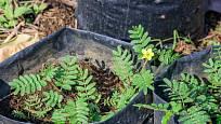 Rostliny kotvičníku se dají pěstovat v plastových pytlích vyplněných vhodnou zeminou.