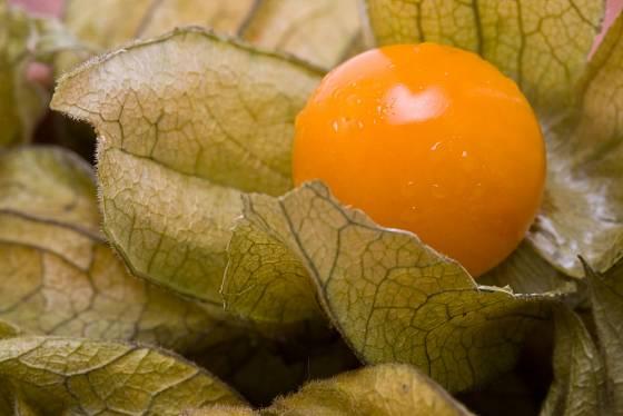Zralý plod mochyně peruánské.
