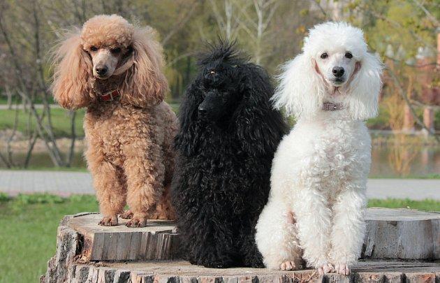 Pudlové všech velikostí i barev patří také ke skvělým canisterapeutům, přesto, že lidé je často podle vhledu posuzují jako psy náročné na péči.
