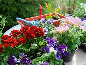 Voblastech, kde již nehrozí přízemní mrazíky, můžete kvetoucí rostliny vysadit vpolovině dubna.