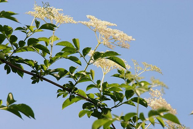 Květy černého bezu i jeho plody jsou zdravé, ale listy a kůra již ne.