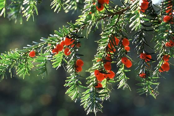 Tis červený nese dekorativní plody, které vynikají v tmavozeleném jehličí