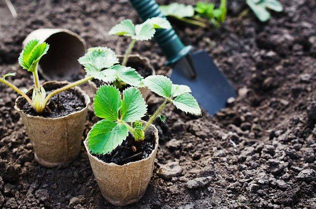 Výsadba nových sazenice jahodníku