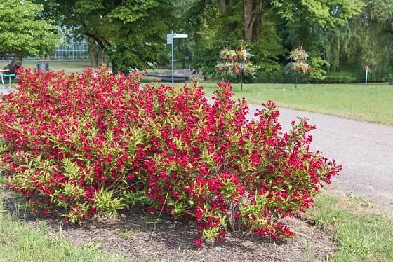 weigelie mnohokvětá (Weigela floribunda)