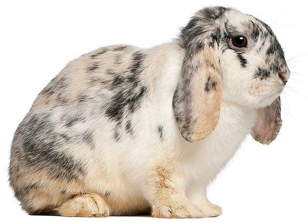 mladý králík plemene francouzský beran, strakatý