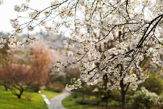 V japonské zahradě postupně rozkvétá mnoho okrasných stromů.