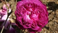 Sadová růže, odrůda Cardinal Richelieu