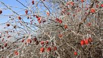 Šípkové keře se uplatní například v nestříhaném živém plotu. Poskytují úkryt ptákům a léčivé plody všem
