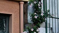 Dipladénie (Mandevilla) je oblíbená i v Itálii.