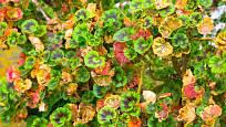 Oschlé či poškozené listy pelargonií před zimováním odstraníme