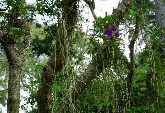 orchidej džungle