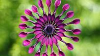 Markro květu paprskovky ukazuje dokonalou krásu nacházející se v pravidelnosti těchto květů.