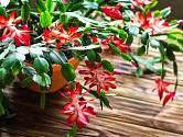 Dopřejte vánočnímu kaktusu klid, odmění se vám květy.