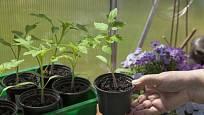 Sazenice pěstované ve skleníku před výsadbou otužujeme