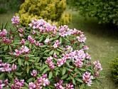 Rododendrony - stálezelené keře s nádhernými květy.