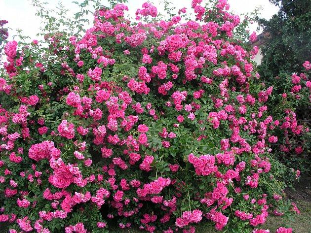 Rudolfína (Benetka, ČR, 2002). Velmi vitální a zdravá růže, růžový květ je asi 8 cm velký; výška růže 4,5 m. Jednou kvetoucí
