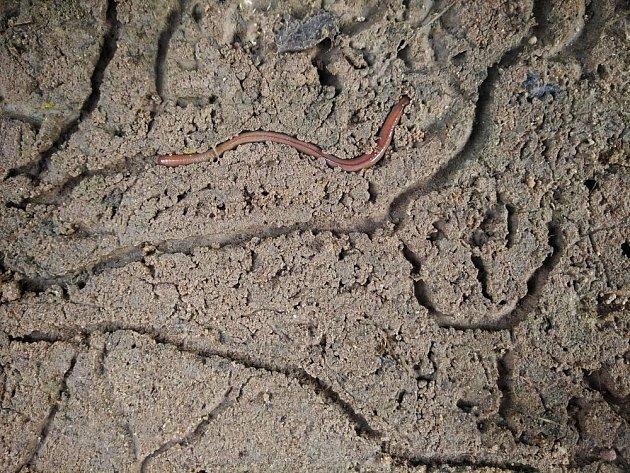 Žížaly v půdě provrtávají spoustu chodbiček, čímž ji provzdušňují
