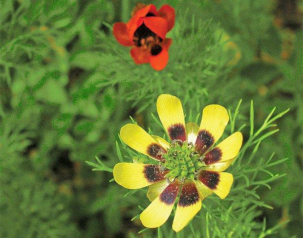 hlaváček letní ve žluté variantě květu
