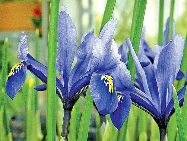 Nádherné květy kosatců
